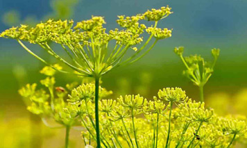 Fennel Shrub