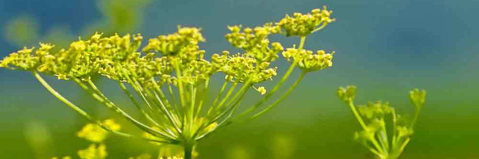 Fennel Herbs